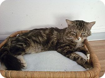 Maine Coon Cat for adoption in Bunnell, Florida - Leo