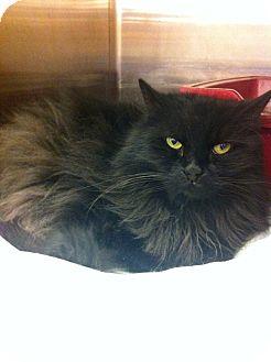 Turkish Angora Cat for adoption in Pittstown, New Jersey - Boo
