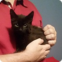 Adopt A Pet :: kitten #4/blackberry - McDonough, GA