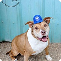 Pit Bull Terrier Dog for adoption in Kansas City, Missouri - Edna