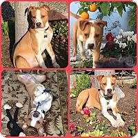 Adopt A Pet :: Sonny - Sacramento, CA