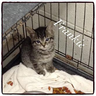 Domestic Shorthair Kitten for adoption in Dillon, South Carolina - Frankie