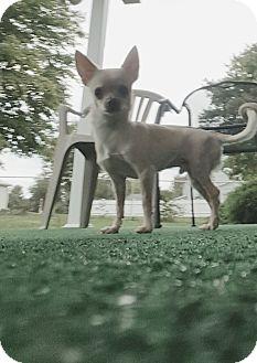 Chihuahua Dog for adoption in Zanesville, Ohio - Sebastian
