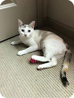 Domestic Shorthair Cat for adoption in Tega Cay, South Carolina - Capri