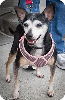Miniature Pinscher/Chihuahua Mix Dog for adoption in Loudonville, New York - Minna