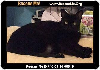 Domestic Shorthair Cat for adoption in Waldorf, Maryland - Jinn