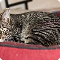 Domestic Shorthair Cat for adoption in Central Islip, New York - Buddy