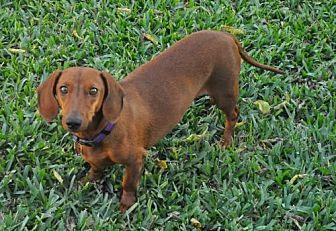 Dachshund Dog for adoption in Dallas, Texas - Jax