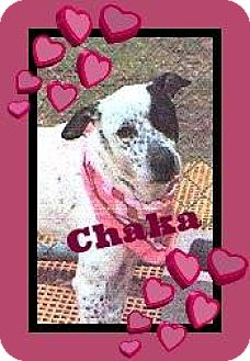 Dalmatian/Australian Cattle Dog Mix Dog for adoption in Friendswood, Texas - Chaka