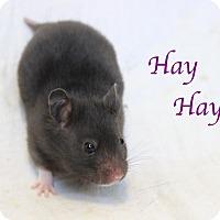 Adopt A Pet :: Hay Hay - Bradenton, FL