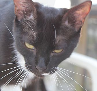 Domestic Shorthair Cat for adoption in Naples, Florida - Francis