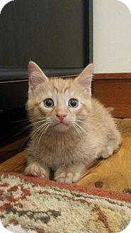 Domestic Shorthair Kitten for adoption in Warren, Michigan - Clifford