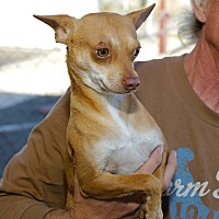 Adopt A Pet :: Moliere, Little Dog Needs YOU! - Corona, CA