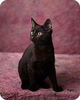 Domestic Shorthair Kitten for adoption in Harrisonburg, Virginia - Binx