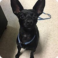 Adopt A Pet :: Marco - Muskegon, MI