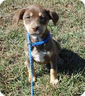 Labrador Retriever/Doberman Pinscher Mix Puppy for adoption in Allentown, New Jersey - Melody