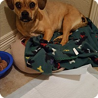 Adopt A Pet :: Buffy - Weatherford, TX