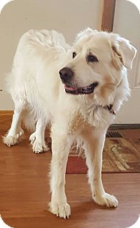 Great Pyrenees Dog for adoption in Mount Gilead, Ohio - Snowflake