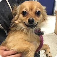 Chihuahua/Pomeranian Mix Dog for adoption in Wrightsville, Pennsylvania - Toto