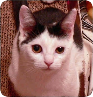 Domestic Shorthair Kitten for adoption in Putnam Valley, New York - Emotion