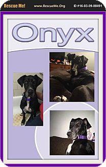 Great Dane Dog for adoption in bullard, Texas - Onyx