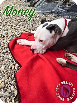 American Staffordshire Terrier Mix Dog for adoption in Middlebury, Connecticut - Money