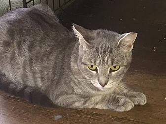 Domestic Shorthair Cat for adoption in New York, New York - Taffy