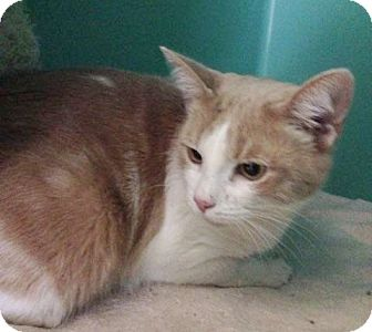 Domestic Shorthair Cat for adoption in Franklin, New Hampshire - Savannah
