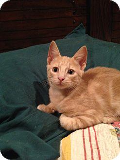 Domestic Shorthair Kitten for adoption in Houston, Texas - Squirt