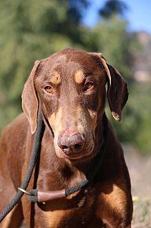Doberman Pinscher Dog for adoption in Fillmore, California - Lance