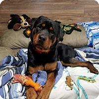 Adopt A Pet :: Duke - Frederick, PA