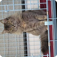 Domestic Longhair Cat for adoption in Valley Falls, Kansas - Lily