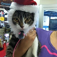 Domestic Shorthair Cat for adoption in Miami, Florida - Baker