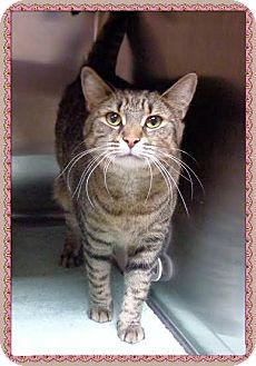 Domestic Shorthair Cat for adoption in Marietta, Georgia - AGATHA - FIV+, Declawed