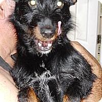 Adopt A Pet :: SHEBA - Hollywood, FL