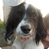 Adopt A Pet :: Ginger - Toluca Lake, CA