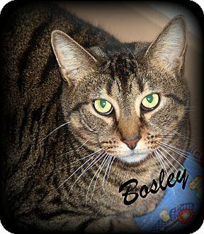 Domestic Mediumhair Cat for adoption in Salem, Ohio - Bosley