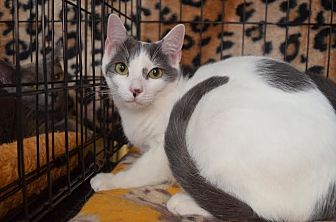 Domestic Shorthair Cat for adoption in Greer, South Carolina - Jamie