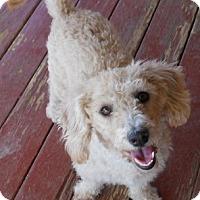 Adopt A Pet :: Candy - dewey, AZ