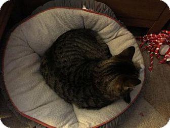 Domestic Mediumhair Cat for adoption in Hastings, Minnesota - Adam