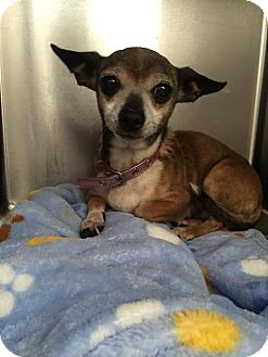 Chihuahua Dog for adoption in Westminster, California - Flauta
