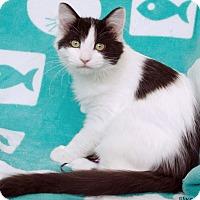 Adopt A Pet :: Valenzi - St Louis, MO