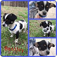 Adopt A Pet :: Bentley - Gainesville, GA