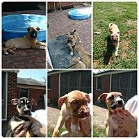 Adopt A Pet :: St Patty's Day Puppies - Mocksville, NC