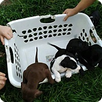 Adopt A Pet :: Laundry Litter - Hanover, PA