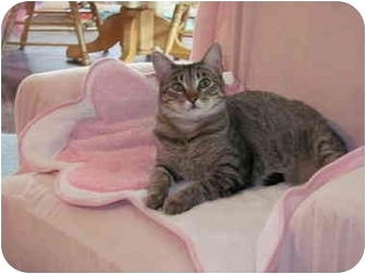 Domestic Shorthair Cat for adoption in Austin, Texas - Nadia
