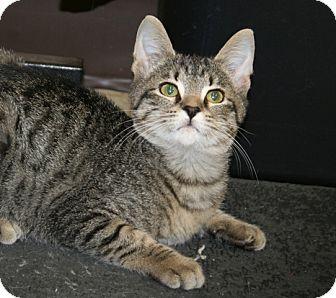 American Shorthair Cat for adoption in Foster, Rhode Island - Brockie