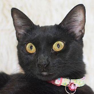 Domestic Shorthair Cat for adoption in Oakland, California - Bernadette