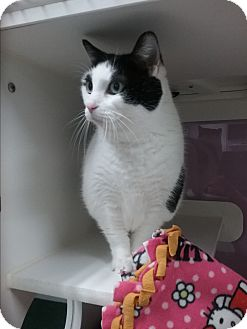 Domestic Shorthair Cat for adoption in Muskegon, Michigan - payton