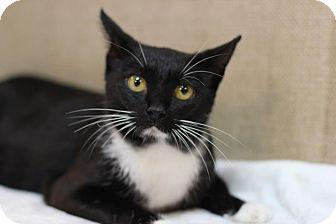 Domestic Shorthair Cat for adoption in Midland, Michigan - Azzarah - $10!